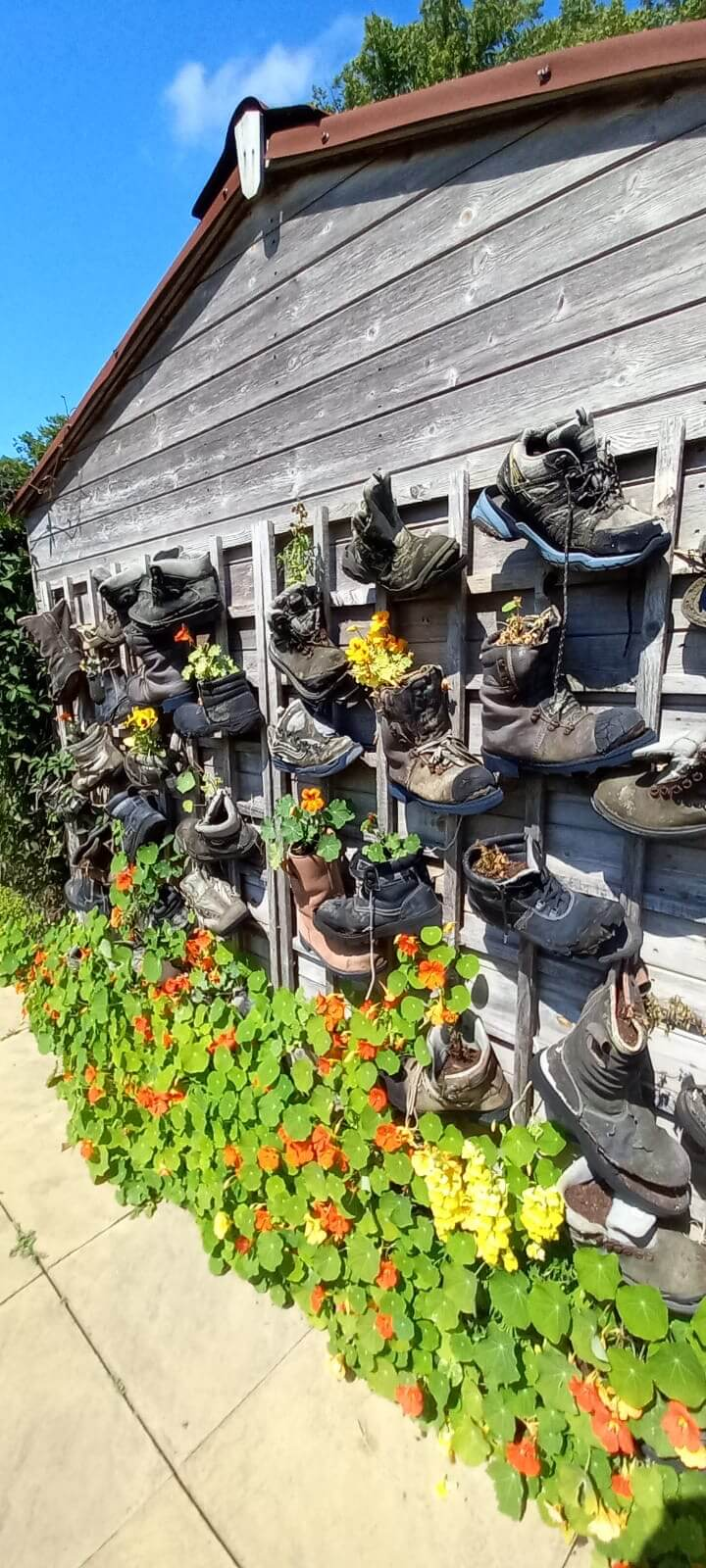 shed wall in the roots and shoots garden, decorated with rows of walking boots strung up by their laces and each filled with beautiful and colourful flowers